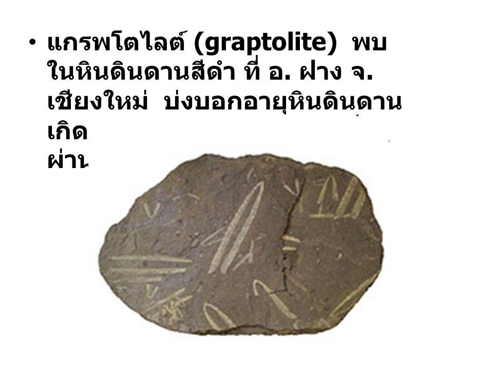 แกรพโตไลต์ (graptolite) พบ ในหินดินดานสีดำ ที่ อ.ฝาง จ.