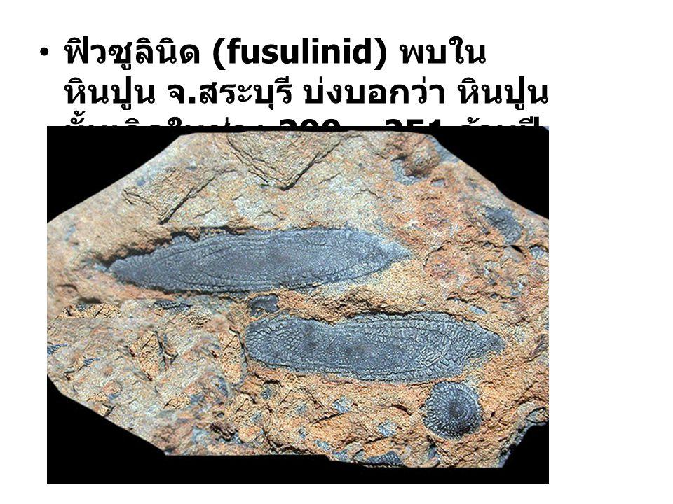 ฟิวซูลินิด (fusulinid) พบใน หินปูน จ.