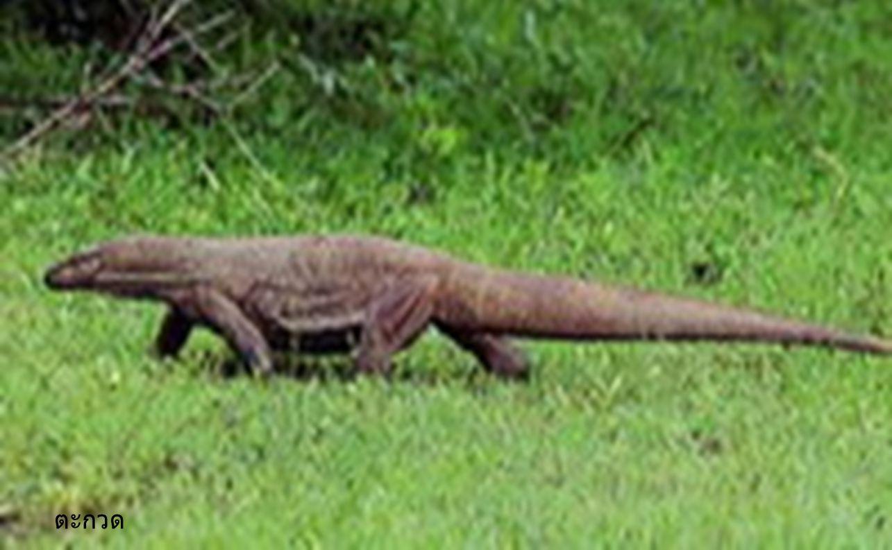 สัตว์เลื้อยคลาน เป็นสัตว์เลือดเย็น ผิวหนัง แห้ง ลำตัวมีเกล็ดปกคลุม หายใจ ด้วยปอด วางไข่บนบก ไข่มีเปลือก แข็งหุ้ม