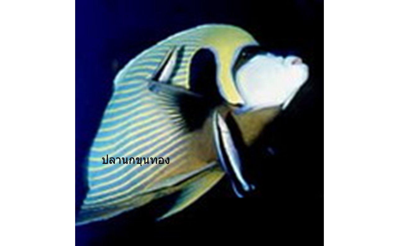 ปลาผีเสื้อ