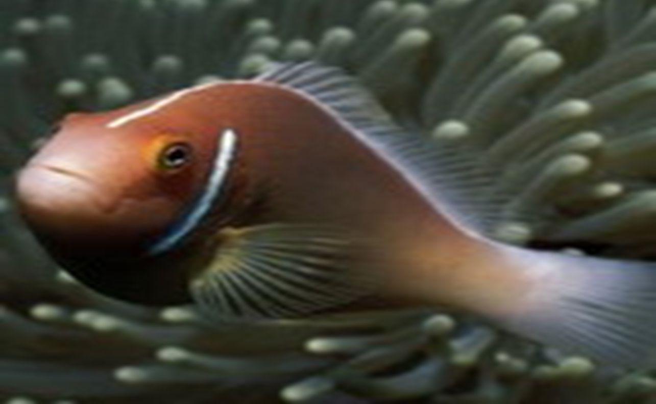 ปลานกขุนทอง