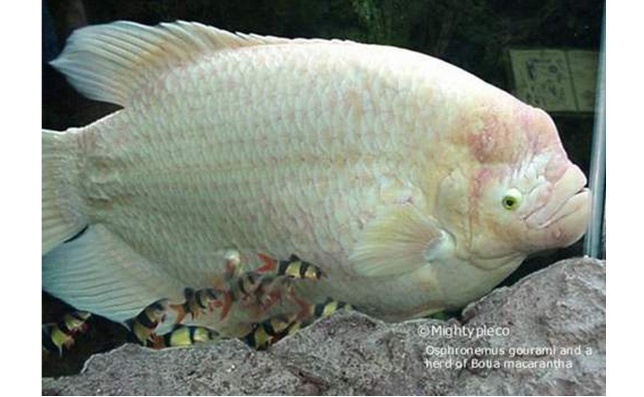 ปลามอเรย์