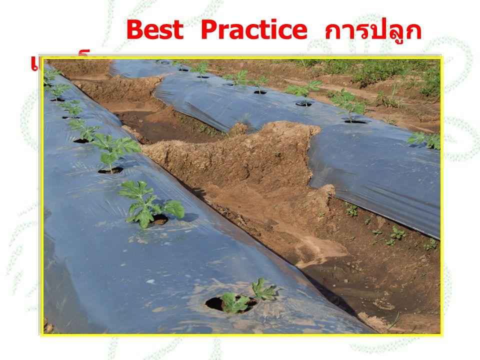 Best Practice การปลูก แตงโม