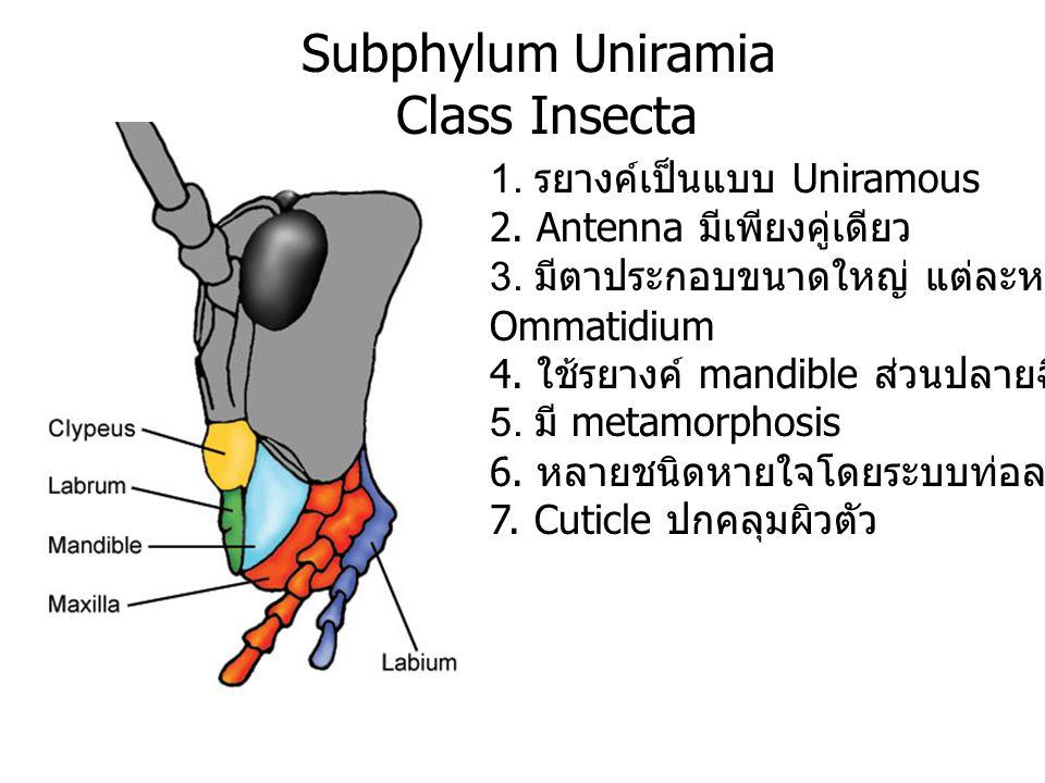 Subphylum Uniramia Class Insecta 1. รยางค์เป็นแบบ Uniramous 2. Antenna มีเพียงคู่เดียว 3. มีตาประกอบขนาดใหญ่ แต่ละหน่วยเรียก Ommatidium 4. ใช้รยางค์ m