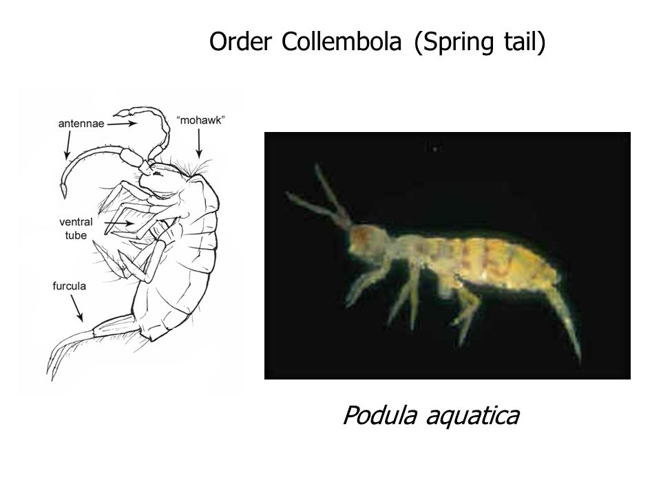 Podula aquatica Order Collembola (Spring tail)