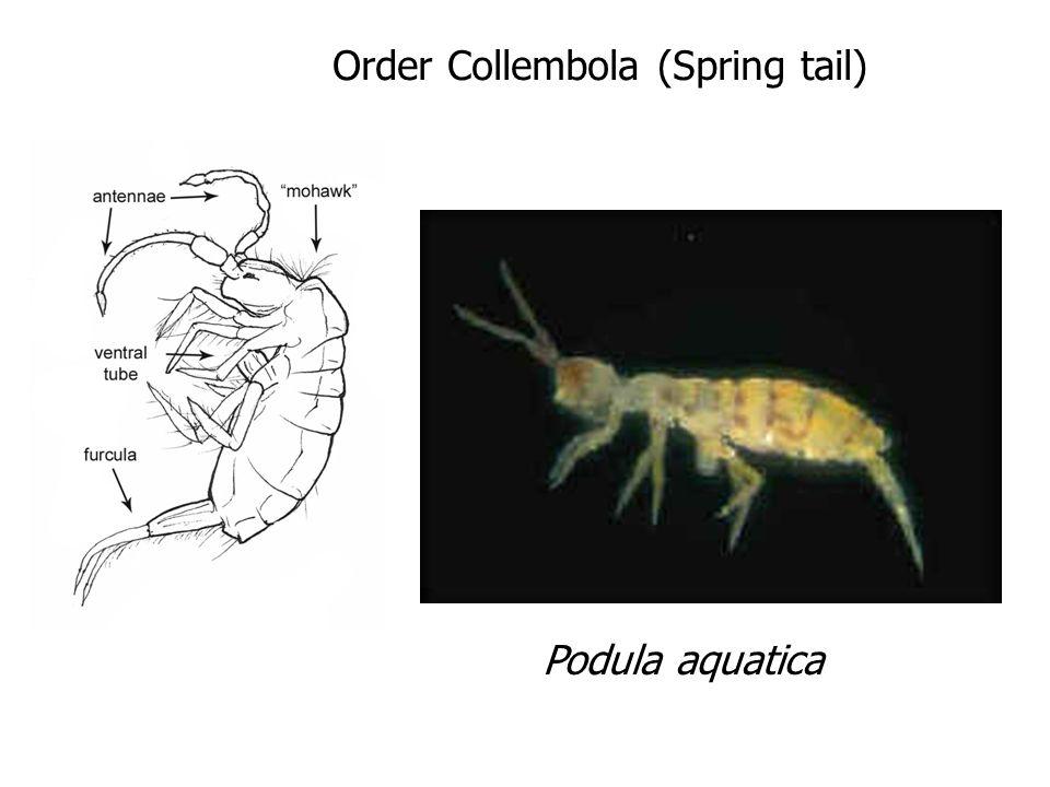 Order Ephemeroptera (May Fly)