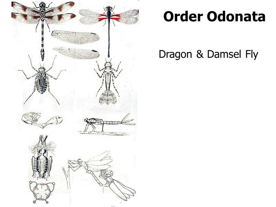 Order Odonata Dragon & Damsel Fly