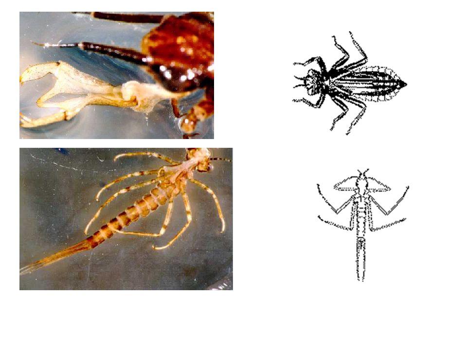 Order Plecoptera (Stone Fly)
