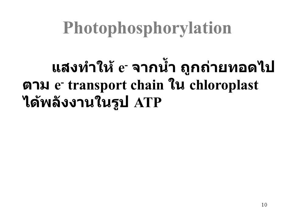 10 Photophosphorylation แสงทำให้ e - จากน้ำ ถูกถ่ายทอดไป ตาม e - transport chain ใน chloroplast ได้พลังงานในรูป ATP