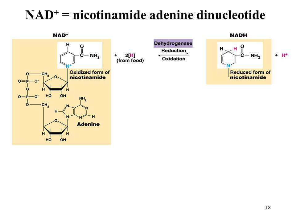 18 NAD + = nicotinamide adenine dinucleotide