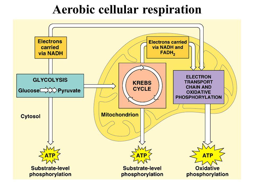 25 Aerobic cellular respiration