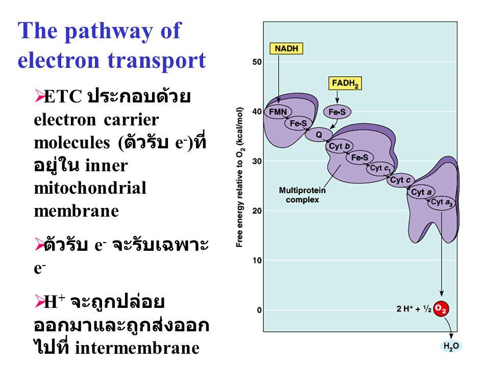 31 The pathway of electron transport  ETC ประกอบด้วย electron carrier molecules ( ตัวรับ e - ) ที่ อยู่ใน inner mitochondrial membrane  ตัวรับ e - จ