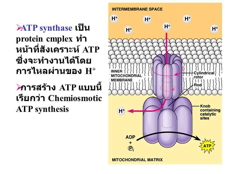 33  ATP synthase เป็น protein cmplex ทำ หน้าที่สังเคราะห์ ATP ซึ่งจะทำงานได้โดย การไหลผ่านของ H +  การสร้าง ATP แบบนี้ เรียกว่า Chemiosmotic ATP syn