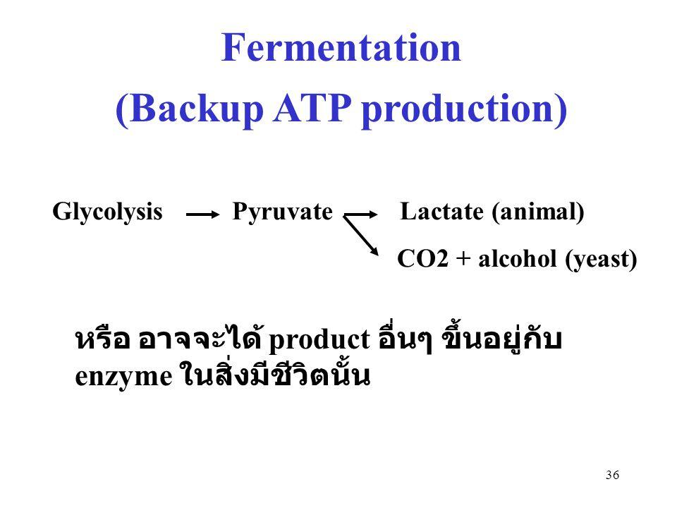36 Fermentation (Backup ATP production) Glycolysis Pyruvate Lactate (animal) CO2 + alcohol (yeast) หรือ อาจจะได้ product อื่นๆ ขึ้นอยู่กับ enzyme ในสิ
