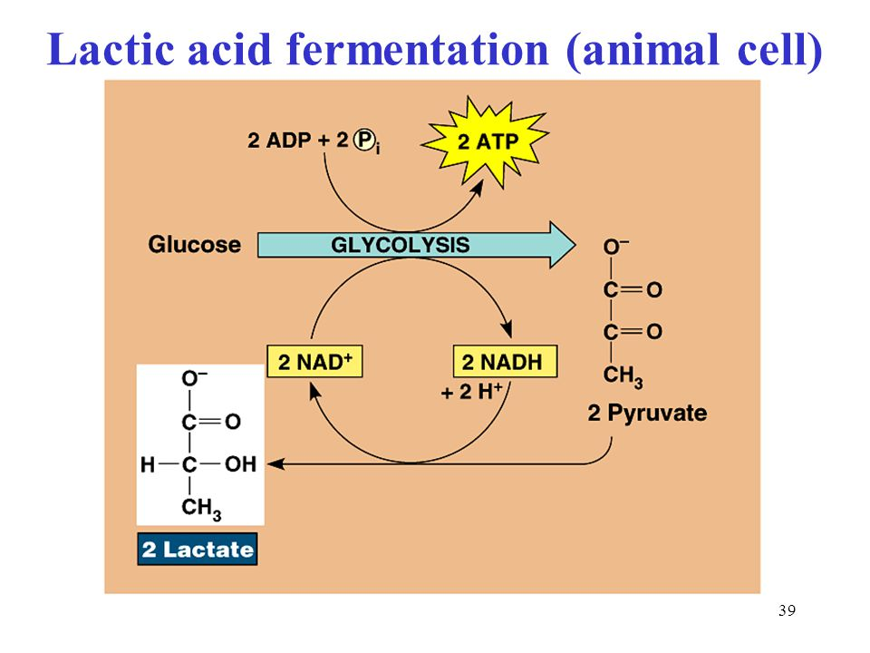 39 Lactic acid fermentation (animal cell)