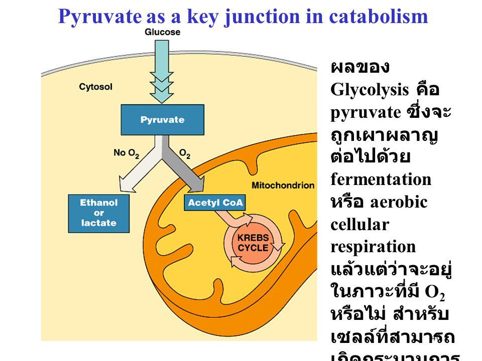 40 Pyruvate as a key junction in catabolism ผลของ Glycolysis คือ pyruvate ซึ่งจะ ถูกเผาผลาญ ต่อไปด้วย fermentation หรือ aerobic cellular respiration แ