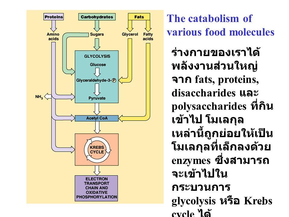 42 The catabolism of various food molecules ร่างกายของเราได้ พลังงานส่วนใหญ่ จาก fats, proteins, disaccharides และ polysaccharides ที่กิน เข้าไป โมเลก