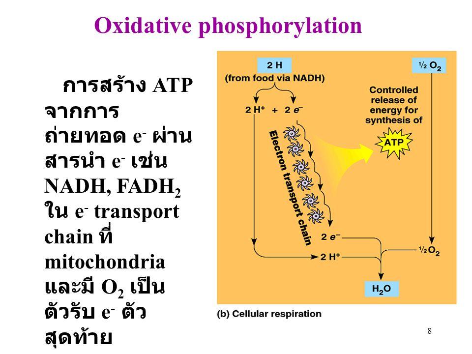 8 Oxidative phosphorylation การสร้าง ATP จากการ ถ่ายทอด e - ผ่าน สารนำ e - เช่น NADH, FADH 2 ใน e - transport chain ที่ mitochondria และมี O 2 เป็น ตั