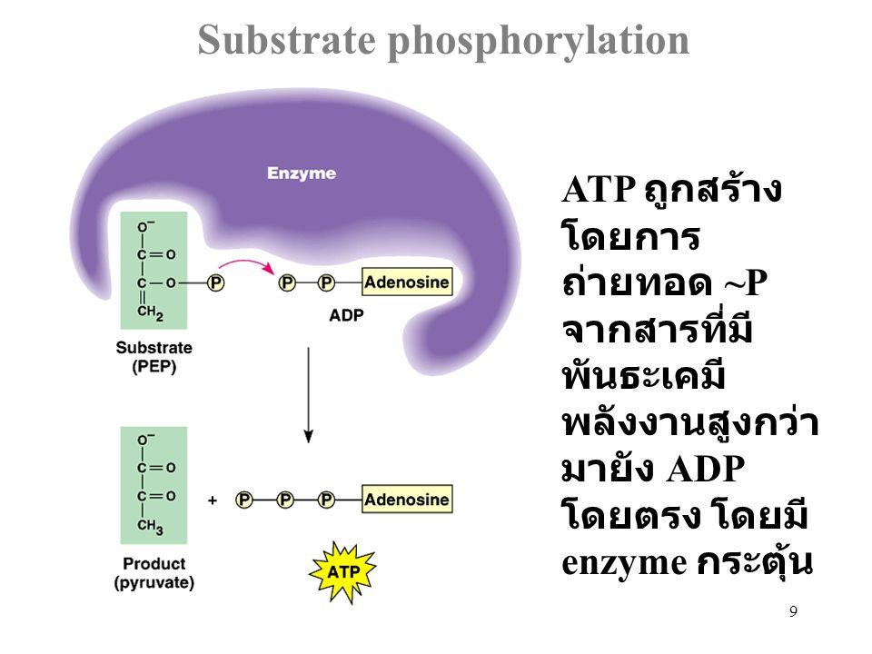 40 Pyruvate as a key junction in catabolism ผลของ Glycolysis คือ pyruvate ซึ่งจะ ถูกเผาผลาญ ต่อไปด้วย fermentation หรือ aerobic cellular respiration แล้วแต่ว่าจะอยู่ ในภาวะที่มี O 2 หรือไม่ สำหรับ เซลล์ที่สามารถ เกิดกระบวนการ หายใจได้ทั้ง 2 แบบ
