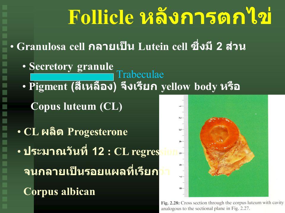 Follicle หลังการตกไข่ Granulosa cell กลายเป็น Lutein cell ซึ่งมี 2 ส่วน Secretory granule Pigment ( สีเหลือง ) จึงเรียก yellow body หรือ Copus luteum (CL) Trabeculae CL ผลิต Progesterone ประมาณวันที่ 12 : CL regression จนกลายเป็นรอยแผลที่เรียกว่า Corpus albican