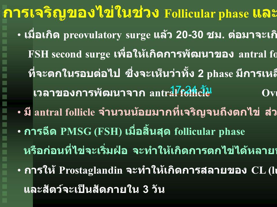 การเจริญของไข่ในช่วง Follicular phase และ Luteal phase เมื่อเกิด preovulatory surge แล้ว 20-30 ชม.
