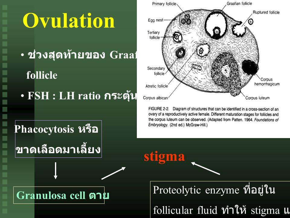 Ovulation ช่วงสุดท้ายของ Graafian follicle FSH : LH ratio กระตุ้น Phacocytosis หรือ ขาดเลือดมาเลี้ยง Granulosa cell ตาย stigma Proteolytic enzyme ที่อยู่ใน follicular fluid ทำให้ stigma แตก