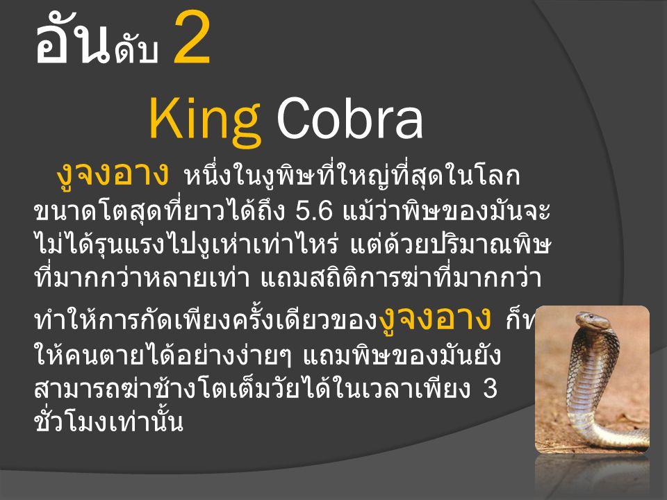 อัน ดับ 2 King Cobra งูจงอาง หนึ่งในงูพิษที่ใหญ่ที่สุดในโลก ขนาดโตสุดที่ยาวได้ถึง 5.6 แม้ว่าพิษของมันจะ ไม่ได้รุนแรงไปงูเห่าเท่าไหร่ แต่ด้วยปริมาณพิษ