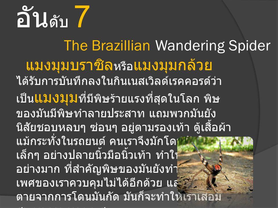 อัน ดับ 7 The Brazillian Wandering Spider แมงมุมบราซิล หรือ แมงมุมกล้วย ได้รับการบันทึกลงในกินเนสเวิลด์เรคคอรด์ว่า เป็น แมงมุม ที่มีพิษร้ายแรงที่สุดใน