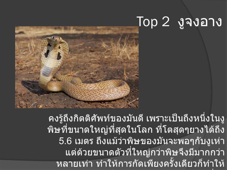 Top 2 งูจงอาง คงรู้ถึงกิตติศัพท์ของมันดี เพราะเป็นถึงหนึ่งในงู พิษที่ขนาดใหญ่ที่สุดในโลก ที่โตสุดๆยางได้ถึง 5.6 เมตร ถึงแม้ว่าพิษของมันจะพอๆกับงูเห่า