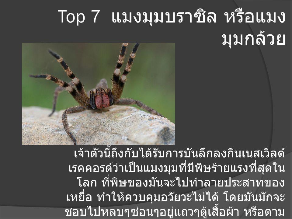 Top 7 แมงมุมบราซิล หรือแมง มุมกล้วย เจ้าตัวนี้ถึงกับได้รับการบันลึกลงกินเนสเวิลด์ เรคคอรด์ว่าเป็นแมงมุมที่มีพิษร้ายแรงที่สุดใน โลก ที่พิษของมันจะไปทำล
