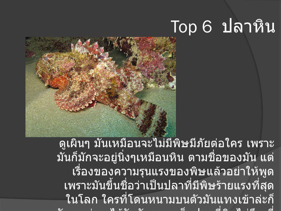 Top 6 ปลาหิน ดูเผินๆ มันเหมือนจะไม่มีพิษมีภัยต่อใคร เพราะ มันก็มักจะอยู่นิ่งๆเหมือนหิน ตามชื่อของมัน แต่ เรื่องของความรุนแรงของพิษแล้วอย่าให้พูด เพราะ
