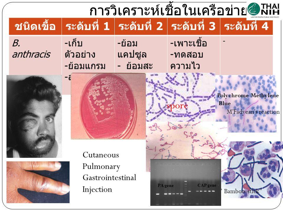 การวิเคราะห์เชื้อในเครือข่ายฯ ชนิดเขื้อระดับที่ 1 ระดับที่ 2 ระดับที่ 3 ระดับที่ 4 B. anthracis - เก็บ ตัวอย่าง - ย้อมแกรม - ส่งต่อ - ย้อม แคปซูล - ย้