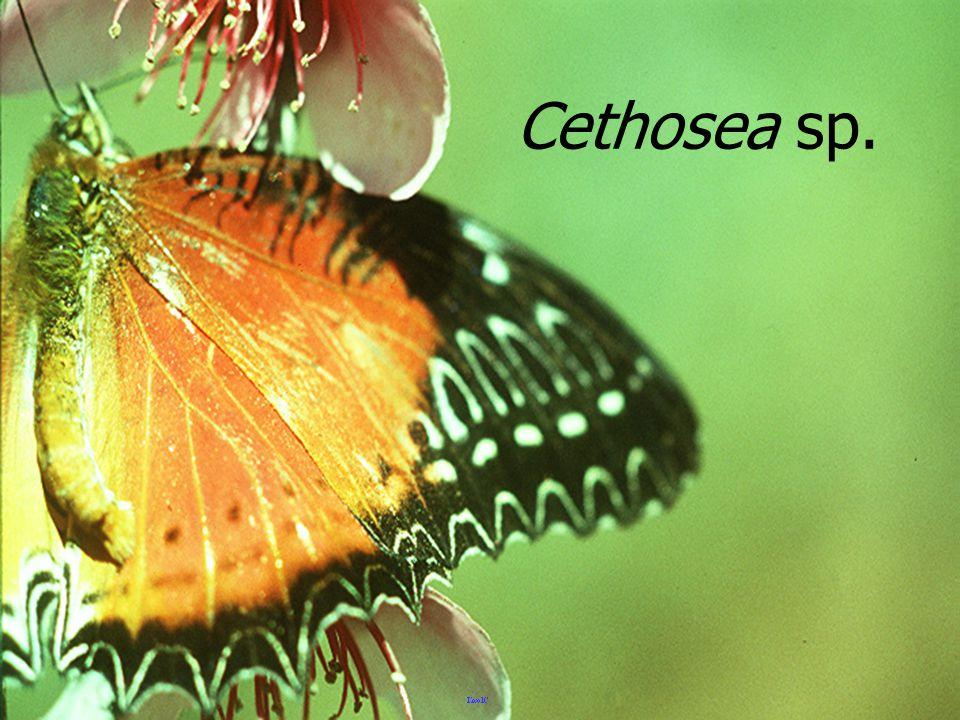 มวนนักกล้าม Annoplocnemis sp.