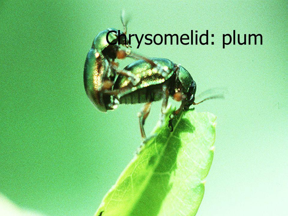 Chrysomelid Larvae