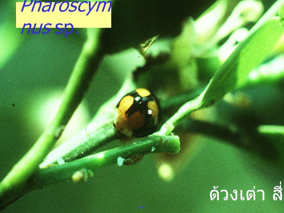 Chrysomelid: plum