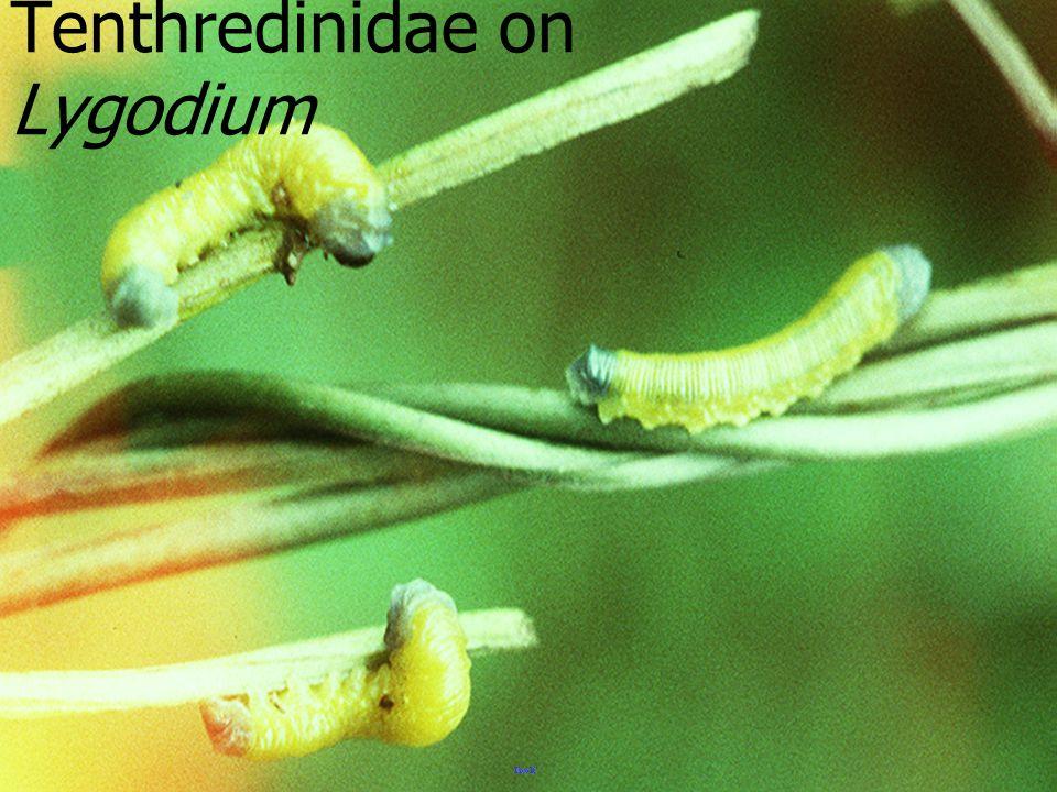 ด้วงเต่า สี่จุด Pharoscym nus sp.