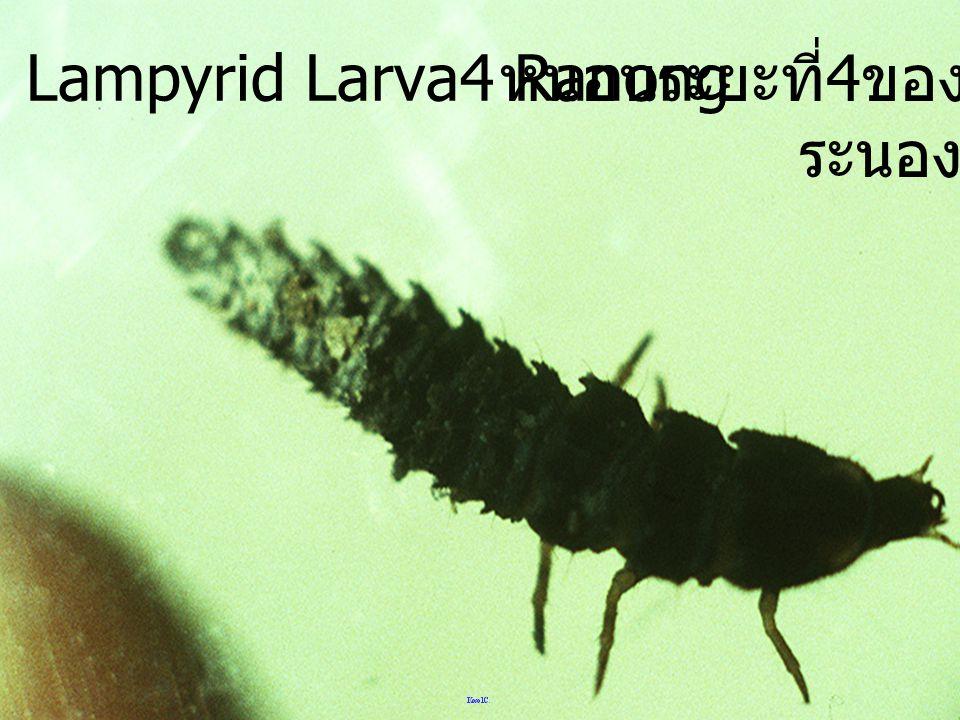 หนอนระยะที่ 3 ของหิงห้อย Lampyrid Larva3