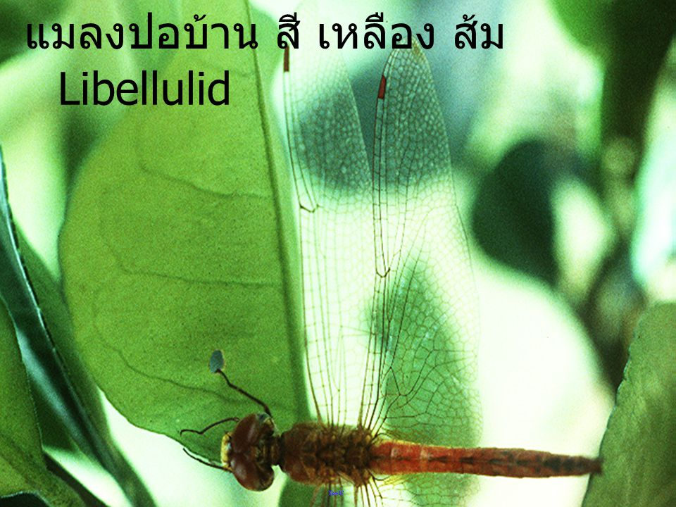 หัวแมลงปอบ้าน Libellulid head