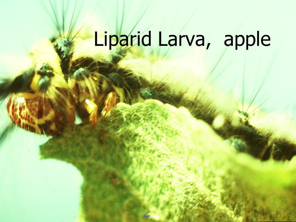 แมลงปอบ้าน สี เหลือง ส้ม Libellulid