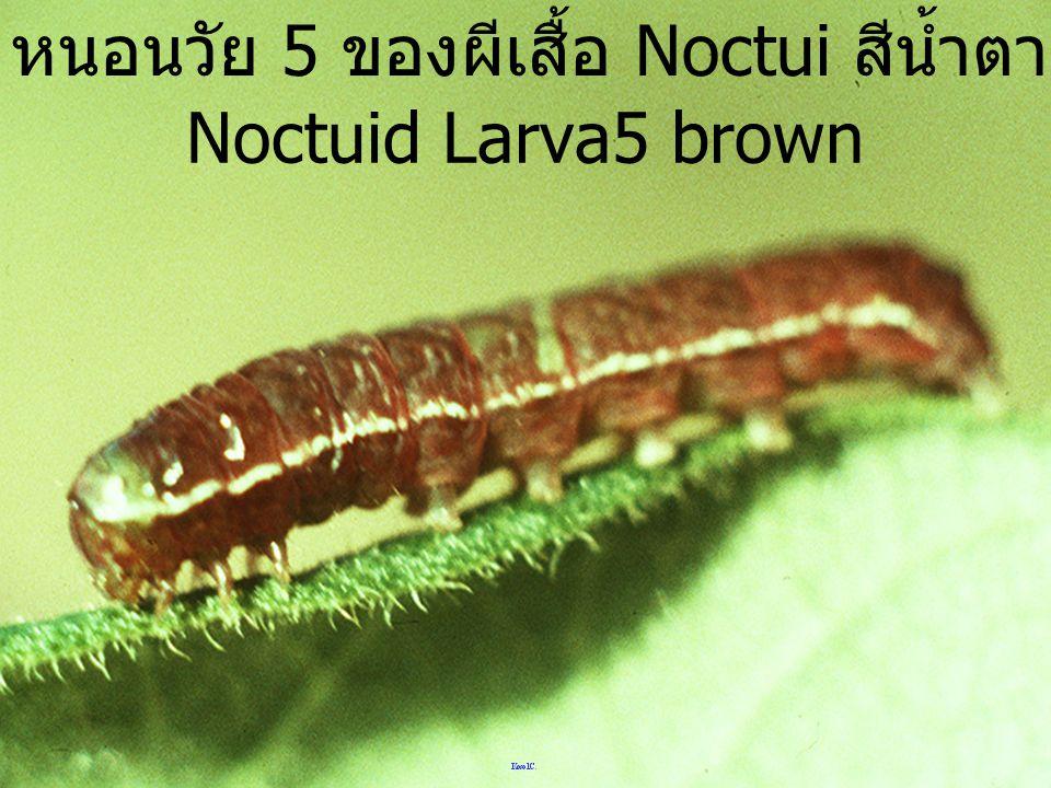 ผีเสือ Noctuid ดอยอ่างขาง Noctuid black&white DAK