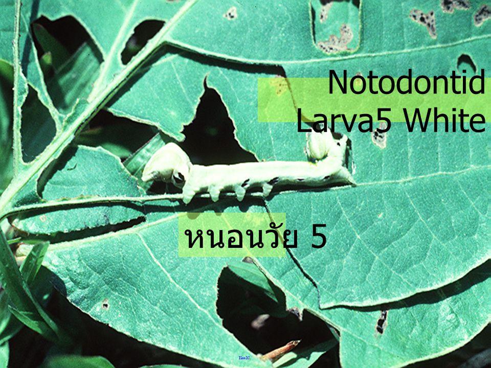 หนอนวัย 5 ของผีเสื้อ Noctui สีน้ำตาล Noctuid Larva5 brown