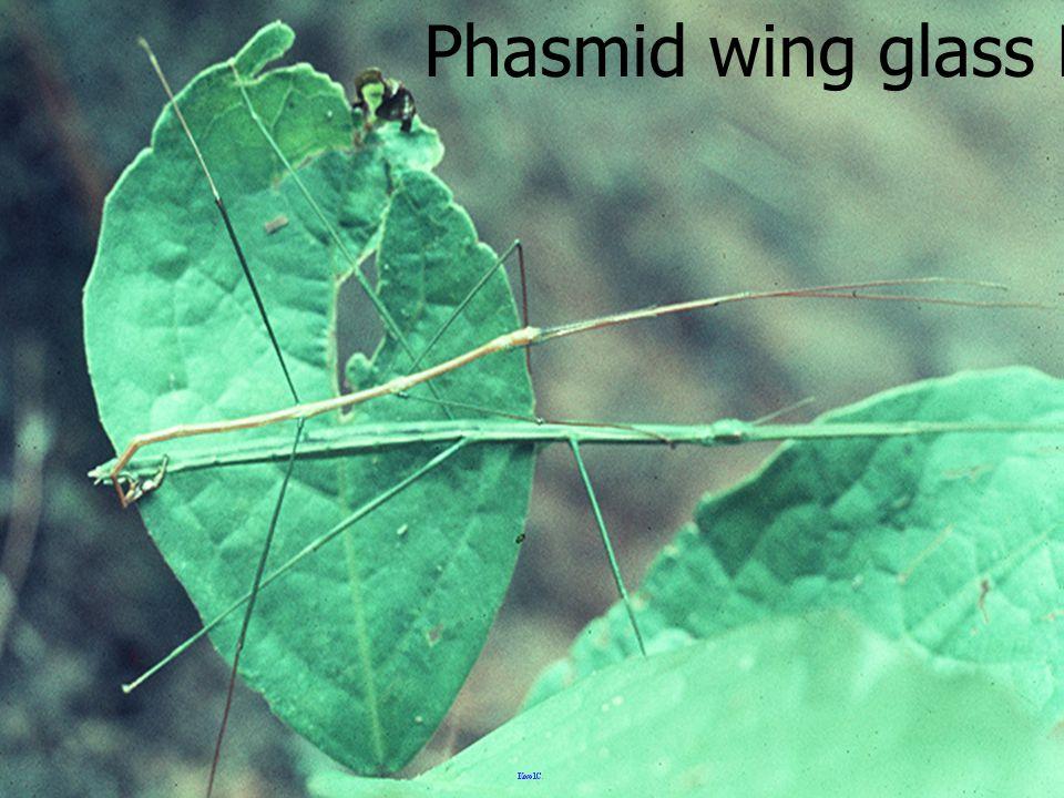 หนอนวัย 5 Notodontid Larva5 White