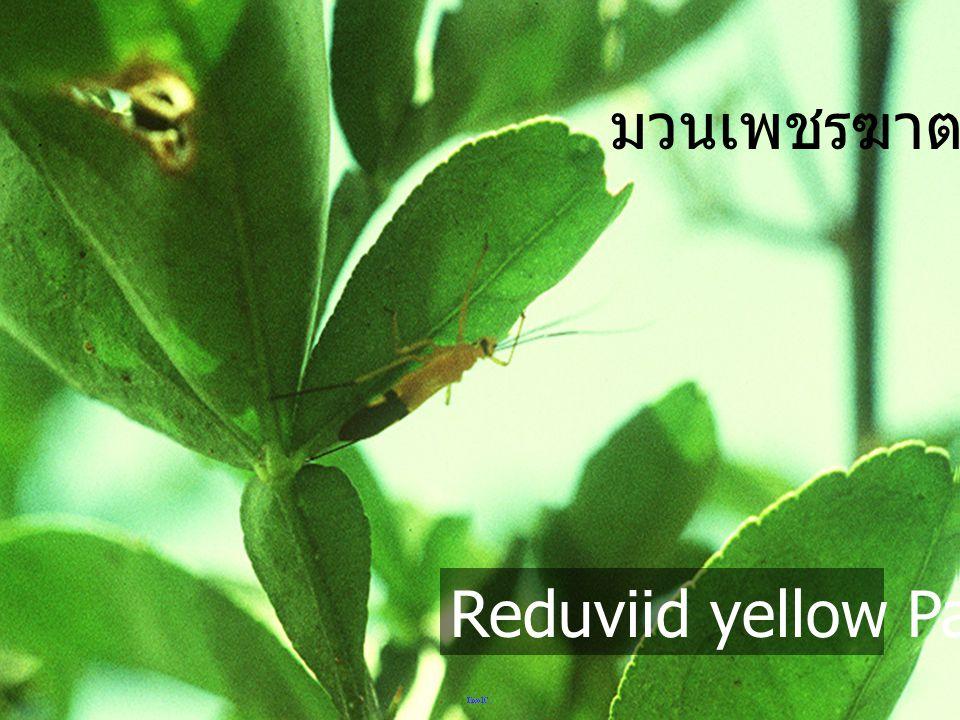 Reduviid yellow&black abdominal มวนเพชรฆาต ท้องสีดำ เหลือง
