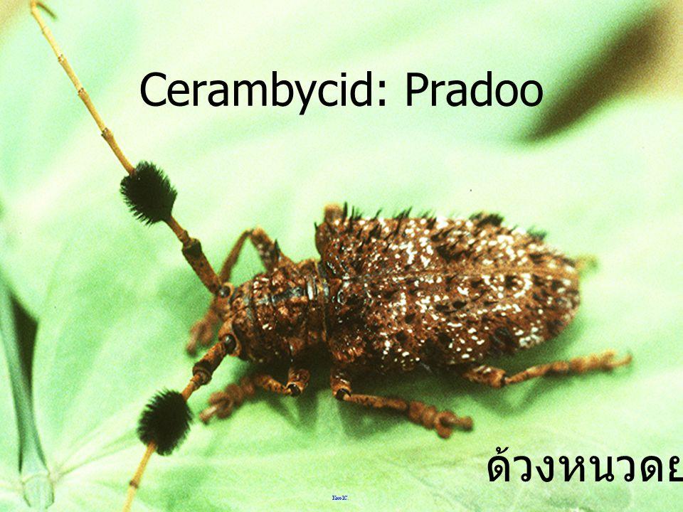 ด้วงหนวดยาว Cerambycid: Doi Ang Khang