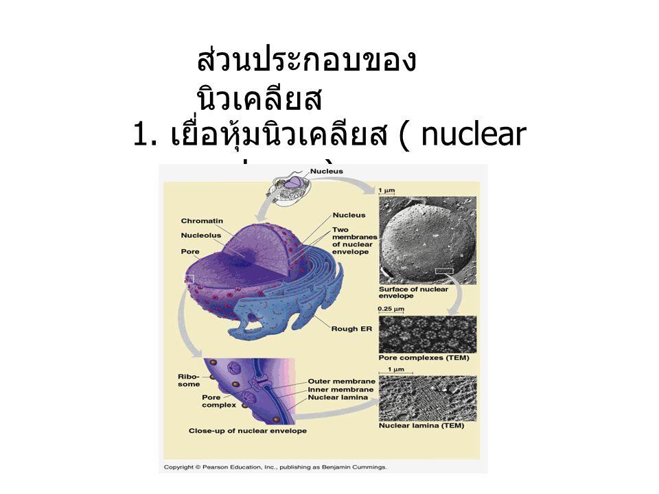 ส่วนประกอบของ นิวเคลียส 1. เยื่อหุ้มนิวเคลียส ( nuclear membrane)