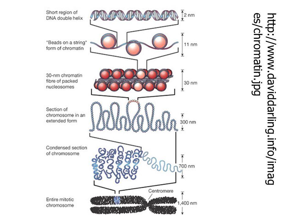 จำนวนโครโมโซมของ สิ่งมีชีวิต ชนิดของ สิ่งมีชีวิต จำนวน โครโมโซม (2n) คน 46 ลิงชิมแพน ซี 48 สุนัข 78 วัว 60 ยุงก้นปล่อ ง 6 แมลงหวี่ 8 กล้วย 22 ชนิดของ สิ่งมีชีวิต จำนวน โครโมโซม (2n) ข้าว 24 มะเขือเทศ 24 ไก่ 78 แมลงวัน 12 ฟักทอง 40 หอม 16 แตงโม 22