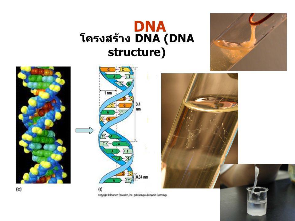 DNA โครงสร้าง DNA (DNA structure)