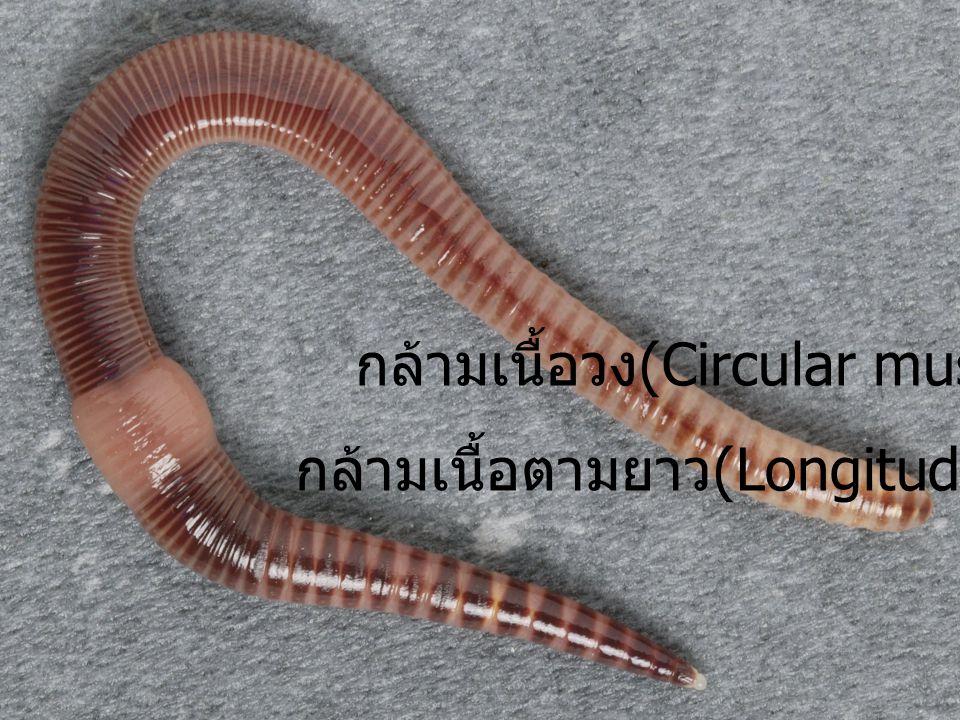 กล้ามเนื้อวง (Circular muscle กล้ามเนื้อตามยาว (Longitudinal muscle