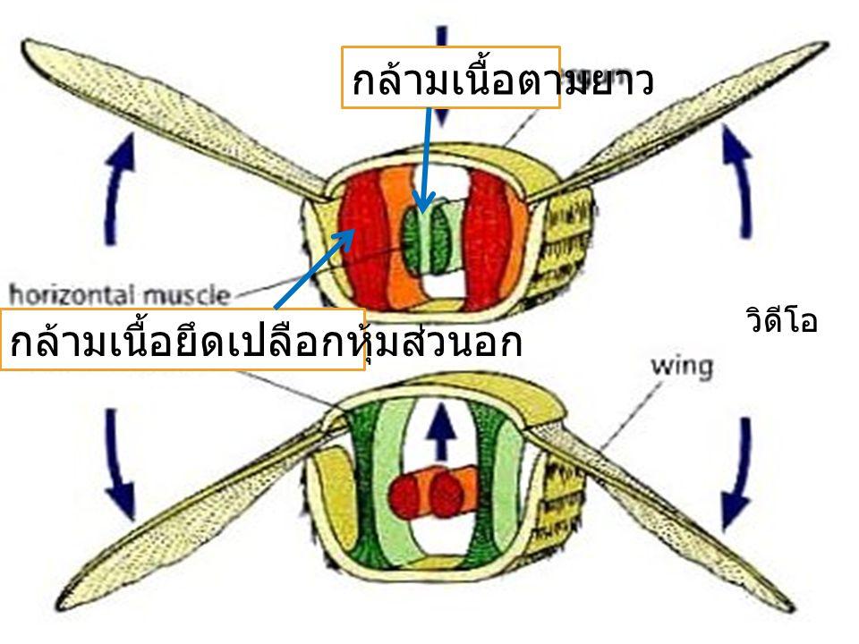 กล้ามเนื้อยึดเปลือกหุ้มส่วนอก กล้ามเนื้อตามยาว