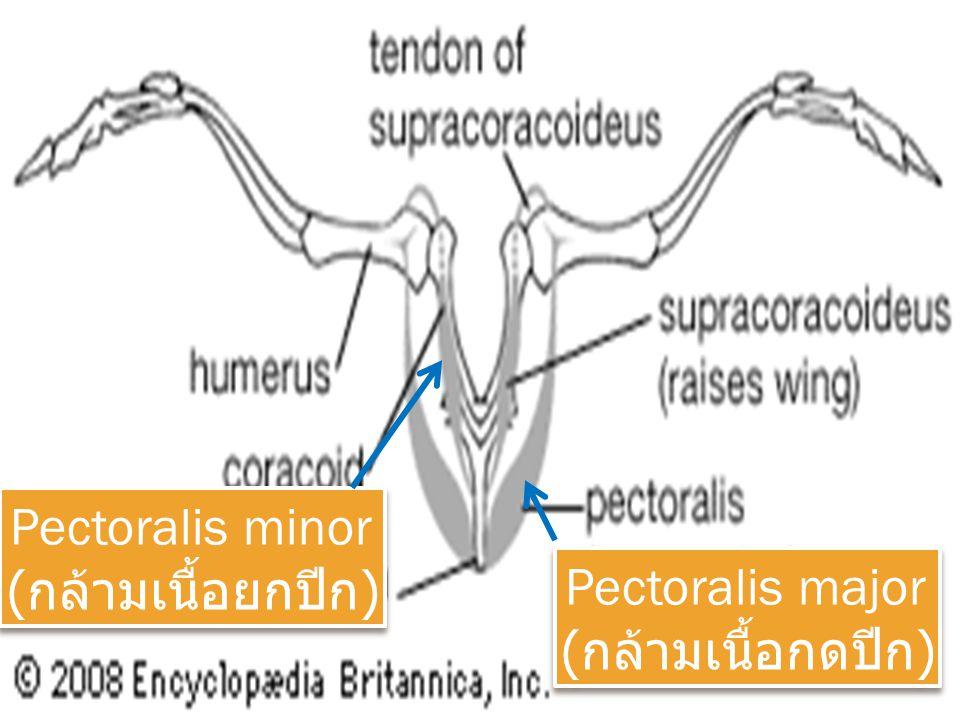 Pectoralis major ( กล้ามเนื้อกดปีก ) Pectoralis major ( กล้ามเนื้อกดปีก ) Pectoralis minor ( กล้ามเนื้อยกปีก ) Pectoralis minor ( กล้ามเนื้อยกปีก )